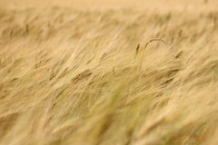 Gold wheat field background Royalty Free Stock Photos