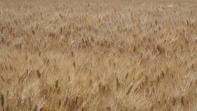 Gold wheat field. Beautiful landscape. Background of ripening ears of meadow wheat field. Summer time. Italian countryside stock video