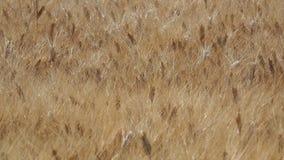 Gold wheat field. Beautiful landscape. Background of ripening ears of meadow wheat field. Summer time. Italian countryside stock footage