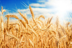 Gold wheat field Royalty Free Stock Photo