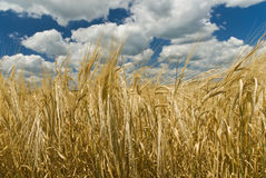 Gold wheat field and blue sky Stock Image