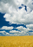 Gold wheat field and blue sky Royalty Free Stock Images
