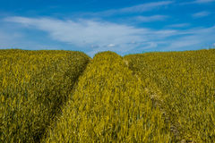 Gold wheat field and blue sky Royalty Free Stock Photography