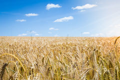 Gold wheat field. And blue sky Royalty Free Stock Photo