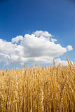Gold wheat field and blue sky. Stock Photography