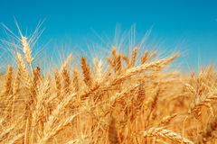 Gold wheat field Royalty Free Stock Photos