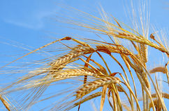 Gold wheat field and blue sky Stock Photos