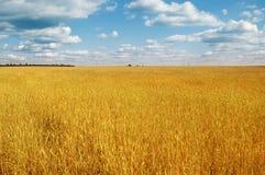 Gold wheat field Royalty Free Stock Photo