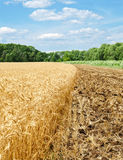 Gold wheat field and blue sky Royalty Free Stock Image