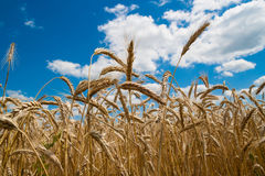 Gold wheat field and blue sky. Golden wheat ears against the blue sky stock photography