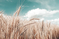 Gold wheat field and blue sky. Ripe grain harvest time Stock Photos