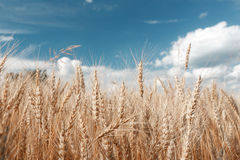 Gold wheat field and blue sky. Ripe grain harvest time Royalty Free Stock Image