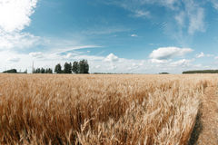 Gold wheat field and blue sky. Ripe grain harvest time Stock Photo