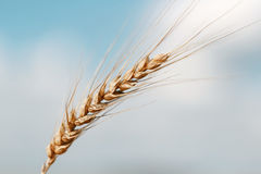 Gold wheat field and blue sky. Ripe grain harvest time Royalty Free Stock Photography
