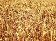 Gold wheat field Stock Photo
