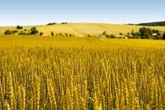 Gold wheat field. And countryside scenery Stock Images