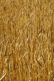 Gold wheat field Stock Photos