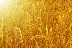 Gold wheat field Stock Photos