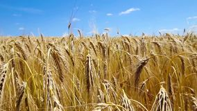 Gold wheat field and sky stock video