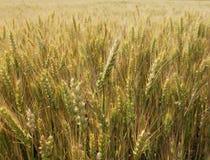 Gold wheat field. Stock Photo