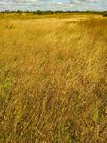 Gold wheat fields royalty free stock images