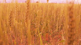 Gold Wheat fields, june 2016, Turkey. Wheat fields, june 2016, HD 1080 stock video footage