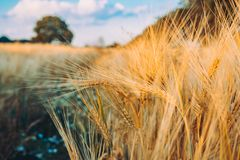 Gold Wheat flied with oak tree at sunset light, rural countryside stock photo