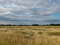 Gold Wheat flied panorama royalty free stock images