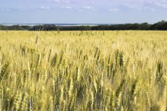 Gold Wheat flied panorama with tree at sunset royalty free stock photography