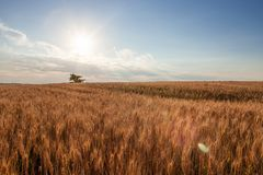 Gold Wheat flied panorama with tree at sunset royalty free stock images