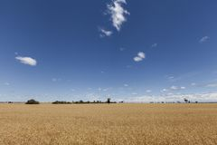 Gold Wheat flied panorama with tree at sunset, rural countryside stock photography