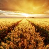 Gold Wheat flied at sunset, rural countryside Stock Images