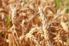 Gold wheat. Growing on field in province Slavonija (Republic of Croatia stock photography