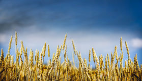 Gold wheat plant on sky background, banner for website with farming concept Royalty Free Stock Images