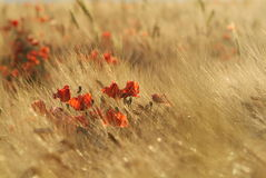 Gold wheat and poppies Royalty Free Stock Images