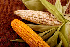 Gold and White Corn Stock Images