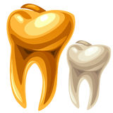 Gold and white human tooth Stock Photos