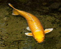 Gold and White Ogon Koi (Cyprinus carpio) Swimming at the Surfac. Golden Ogon Koi (Cyprinus carpio) with white fins swimming at the surface of the water in an Royalty Free Stock Images