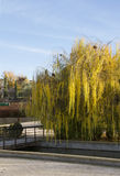 Gold willow  tree in the park. Autumn light. Stock Image