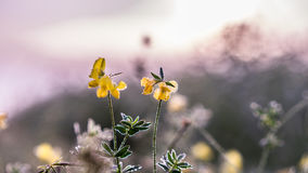 Gold winter sun on  frozen flowers. Beautiful warm colors and fluffy background dewy linings Royalty Free Stock Image