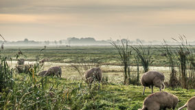 Gold winter sun on hazy meadow sheep and grass. Gold winter sun on hazy Dutch meadow, sheep and frosty grass, trees on the horizon and gray cloudy sky Stock Photo