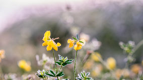 Gold winter sun on late autumn flower with dew. Gold winter sun on late autumn bright colored flower with white dew Stock Image