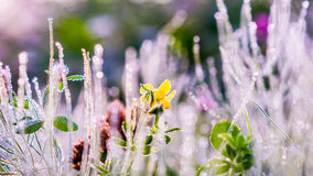 Gold winter sun on late autumn grass and flower with dew. Gold winter sun on late autumn grass and bright colored flower with white dew Stock Photography
