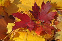 Gold yellow and bright red fallen leaves Royalty Free Stock Image