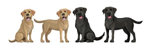 Free Gold Yellow Labrador Retriever And Black Labrador Retriever. Standing And Sitting Labradors Isolated On White. Young And Stock Photos - 159974653