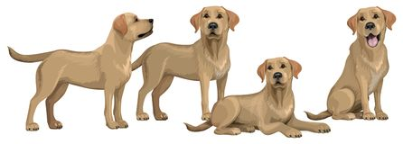 Free Gold Yellow Labrador Retriever. Standing And Sitting Labradors Isolated On White. The Dog Is Lying. Young And Friendly Dogs Stock Photo - 161815080
