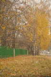 Gold yellow leaves on birch trees, beautiful autumn view Royalty Free Stock Image