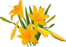 Gold yellow lily bunch isolated on white Stock Image