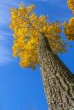 Goldbäume in einem Park Stockfotos