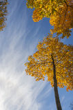 Goldbäume im Herbstpark Stockfoto